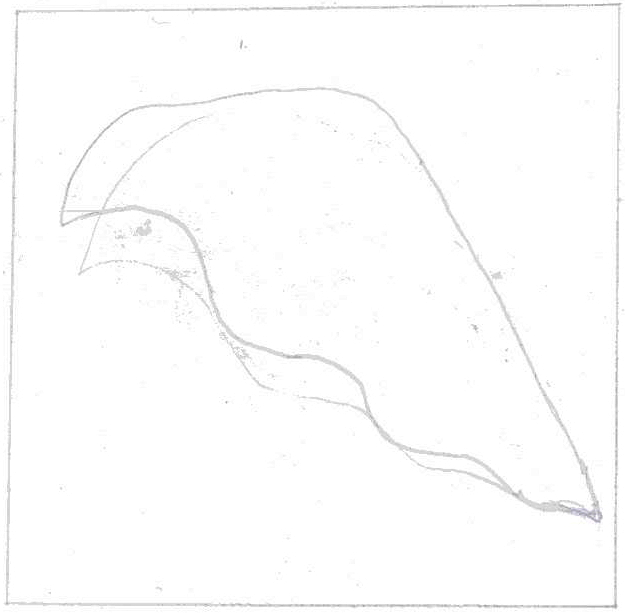 pencil sketch of the leaf within rectangle